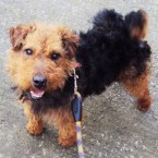 Curley: Wire-haired black and tan terrier crossbreed. Male, 4 years old.