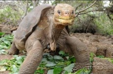 Tortoise Lonesome George, last of his species, found dead