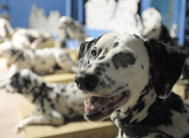 The Dalmatian dog acquired its name from a Croatian region.