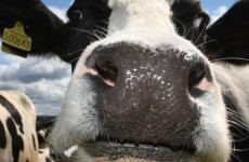 Science's next big quandry: How do cows make friends?