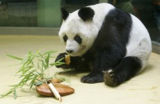 Oldest known male panda dies in Germany