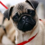 Daisy, a four-month old pug dog, is a bit confused by it all.
