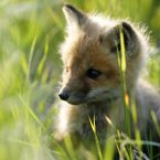 Lickle baby foxes help productivity. (THE CANADIAN PRESS/Dave Chidley)