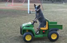 Look at this dog driving a go-kart… and bloody loving it