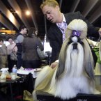 Craig Garcia grooms Fire, a 2-year-old Shih Tzu from Cape Town, South Africa (AP Photo/Mary Altaffer)