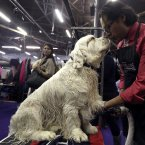Gustavo Jimenez grooms 3-year-old Clumber Spaniel Seymor (AP Photo/Mary Altaffer)
