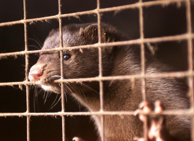 File photo of a caged mink