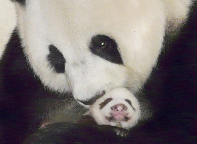 Lin Pui with her panda cub Lin Ping at the Chiang Mai Zoo in China in 2009.