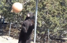 WATCH: Bear plays swingball with himself