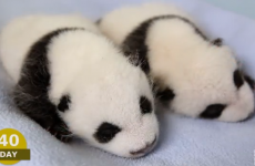 Watch these panda cubs grow from tiny pink yokes to cuddly panda toddlers