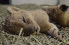 Here are some gratuitous cuddly lion cubs to ease you into Monday morning