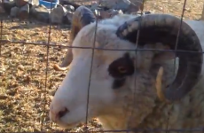This goat could really use a strepsil or something